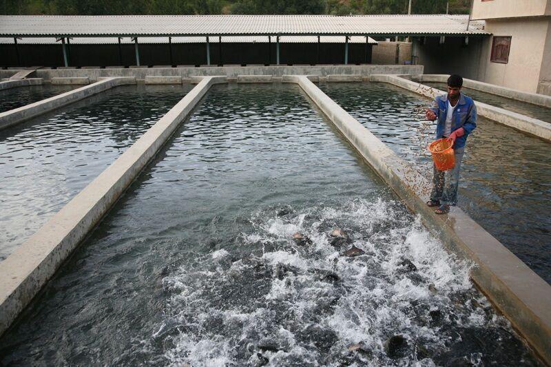 صید ماهی قزل آلا از استخر های شهرستان هیرمند شروع شد