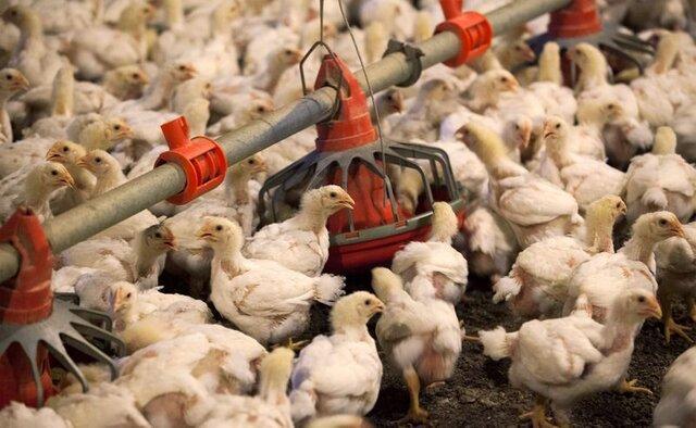 بیش ترین گوشت مرغ سیستان وبلوچستان در شهرستان خاش تولید می شود