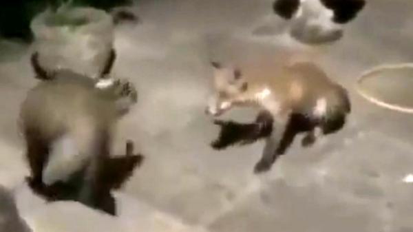 گورکن این روباه را غافلگیر کرد